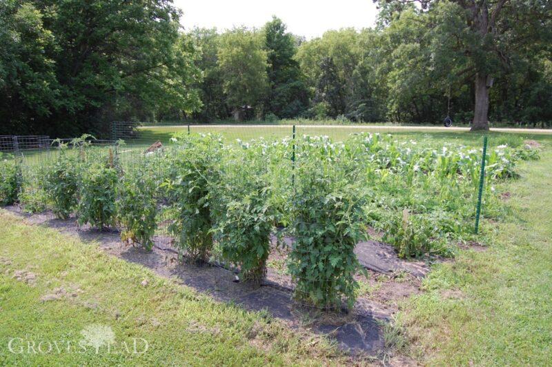 Heirloom tomatoes growing in our garden