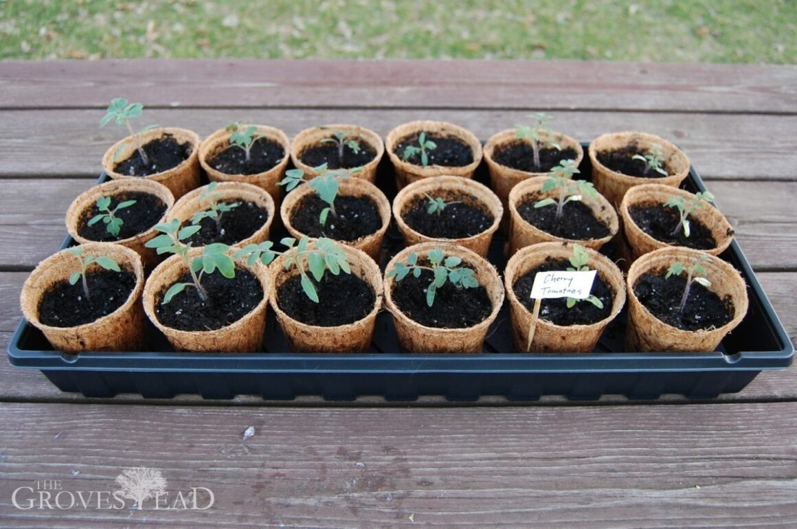 Finished transplanting tomato seedlings