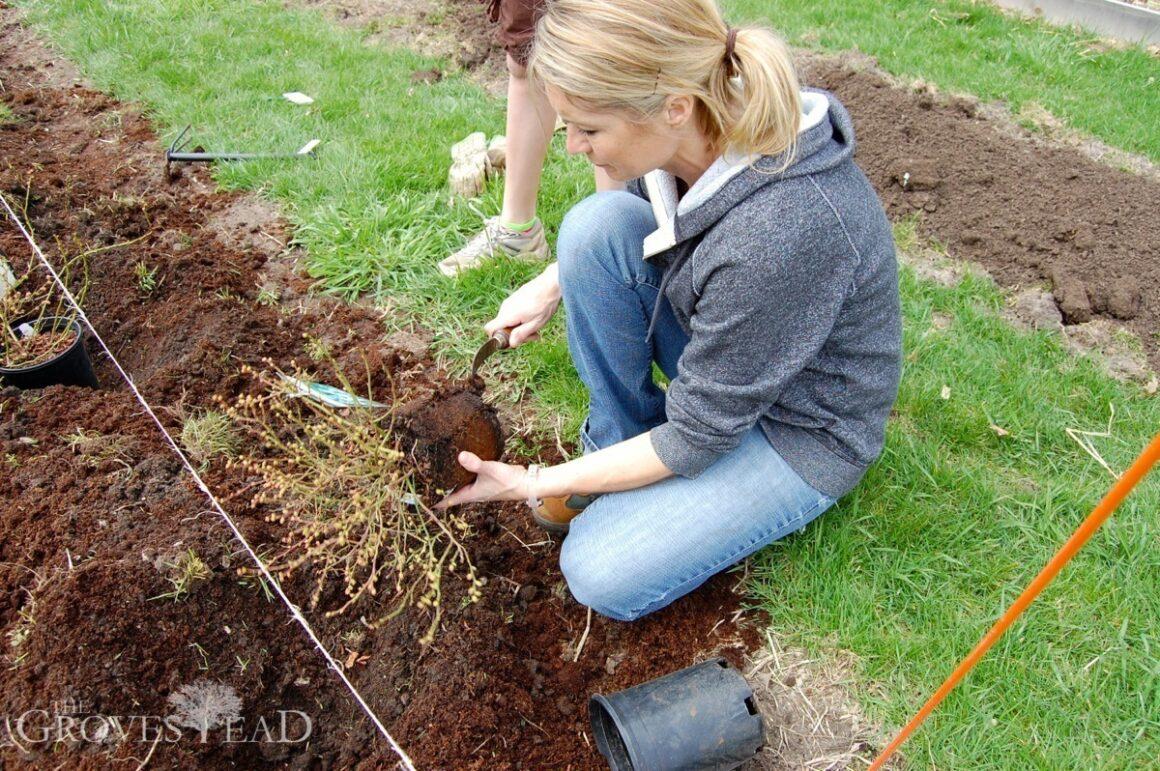 Planting blueberry shrubs