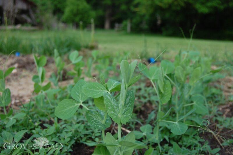 Peas growing fast