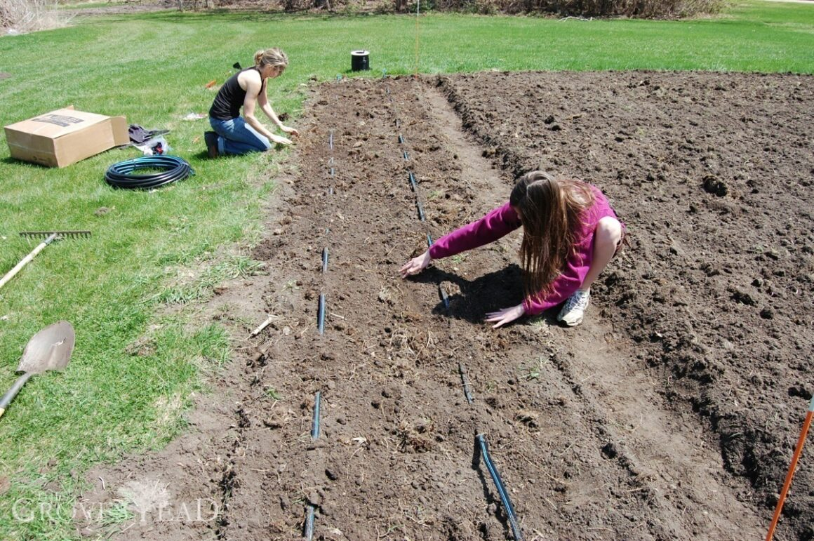 Setting out the drip tape irrigation