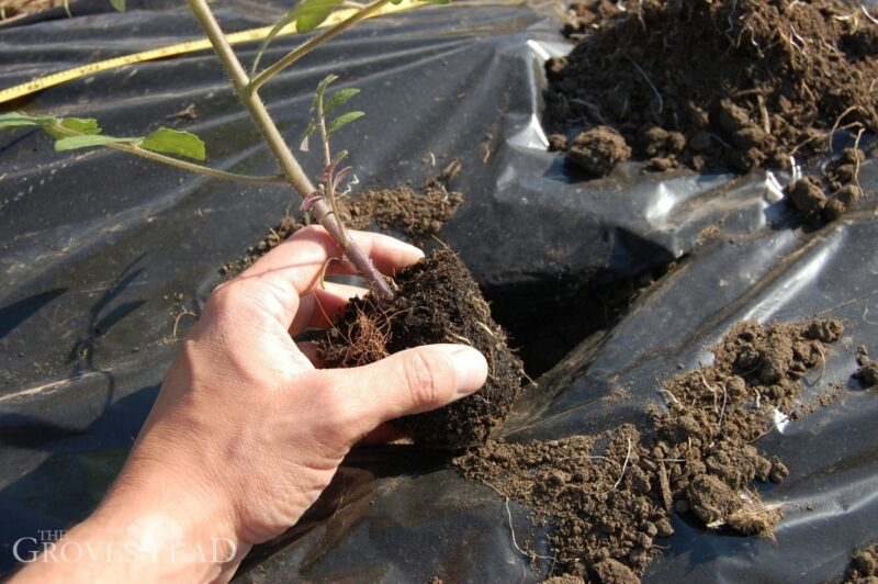 Transplanting tomato seedling into the ground