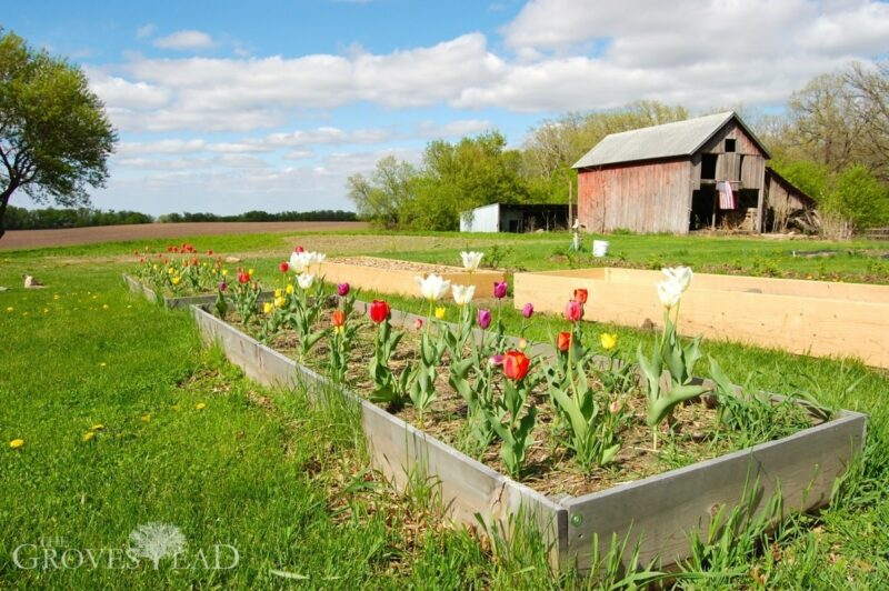 Tulips in raised beds