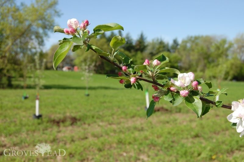 Apple tree blossoming on branch