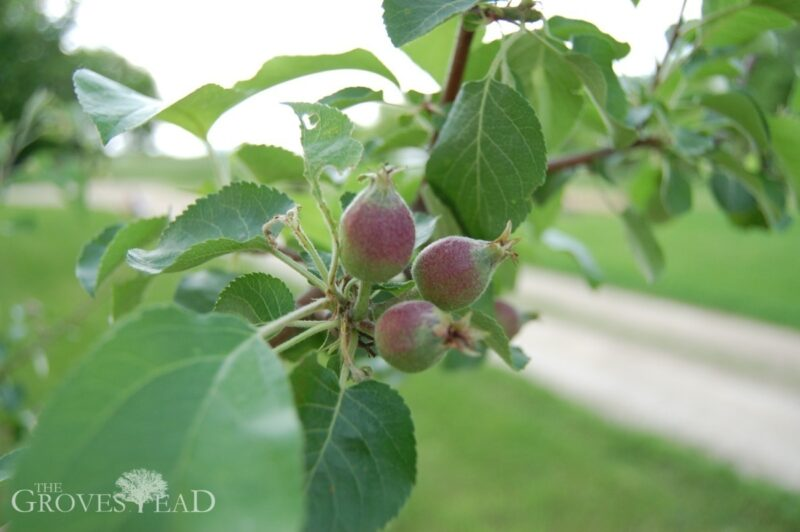 Tiny apples forming on apple trees