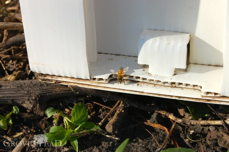First bee emerges from nuc hive