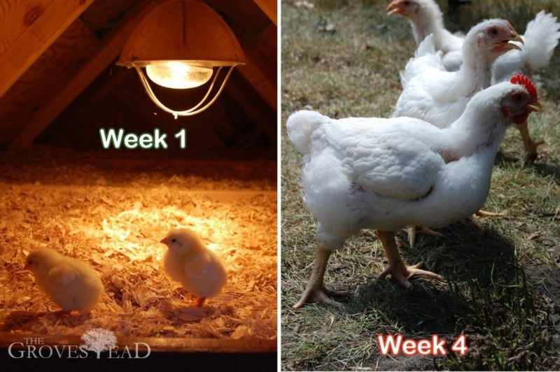 Comparison of chickens week one to week four
