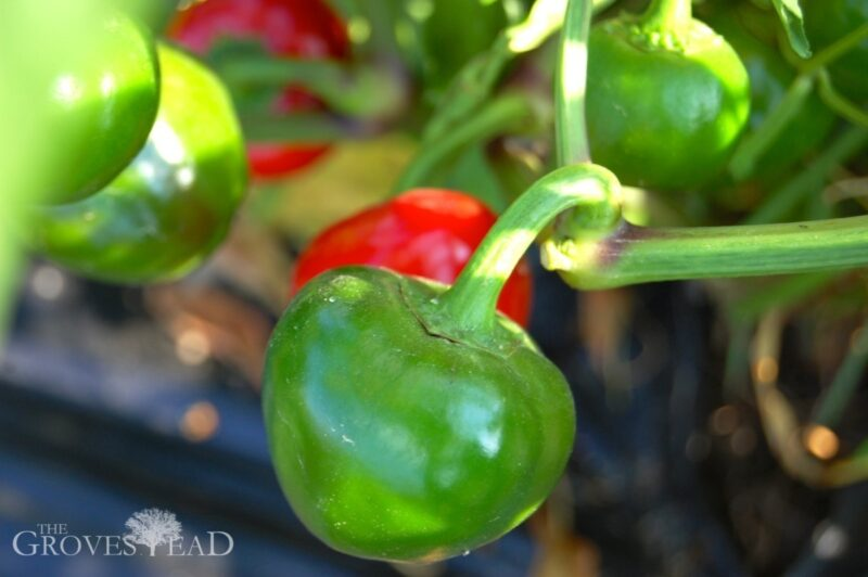 Peppers ripening