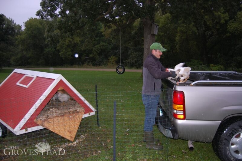 Loading the chickens into the pickup truck