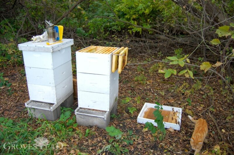Bee hives opened with frames pulled out for inspection