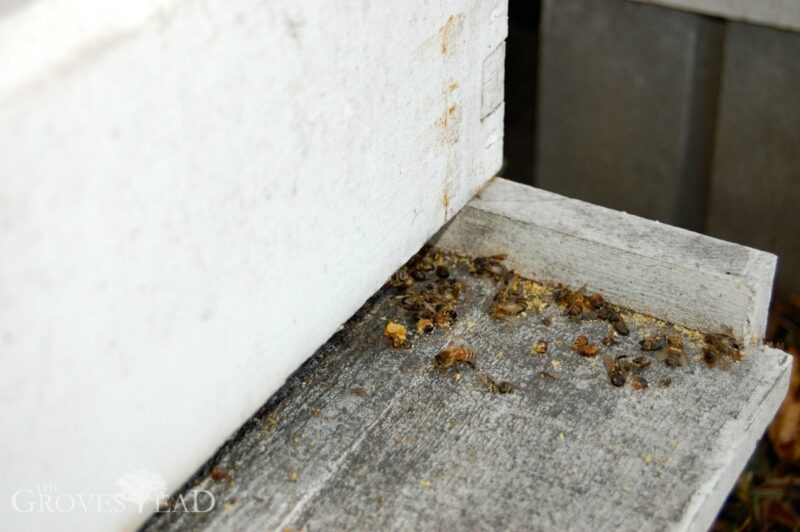 Dead bees at the base of the hives