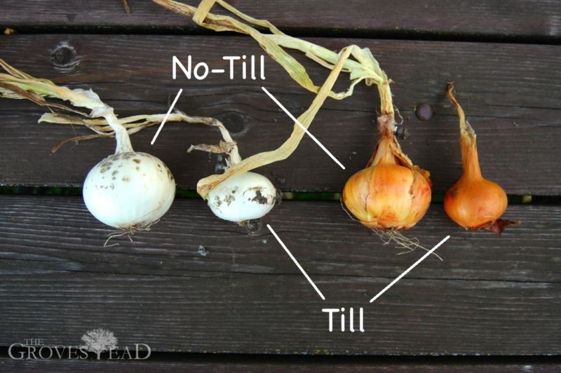 Comparison of onions grown in no-till garden