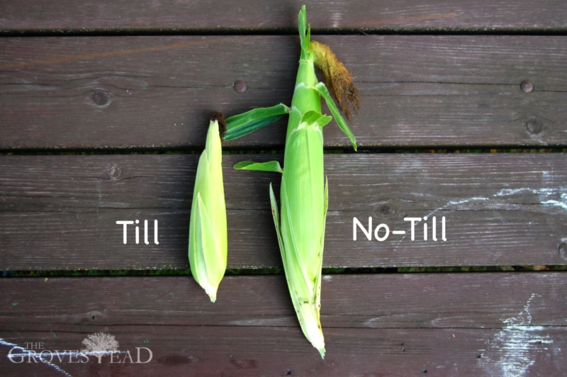 Comparison of corn grown in no-till garden