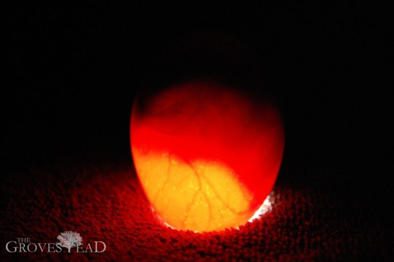 Candling egg showing developing embryo with blood vessels