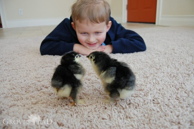 Boy watches baby chicks