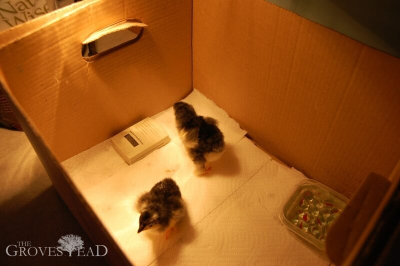 Baby chicks in their new brooder