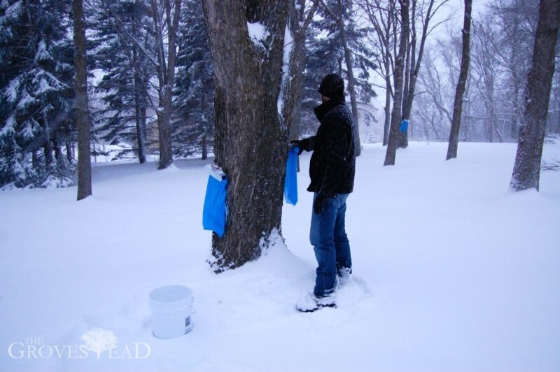 Collecting sap from the bags
