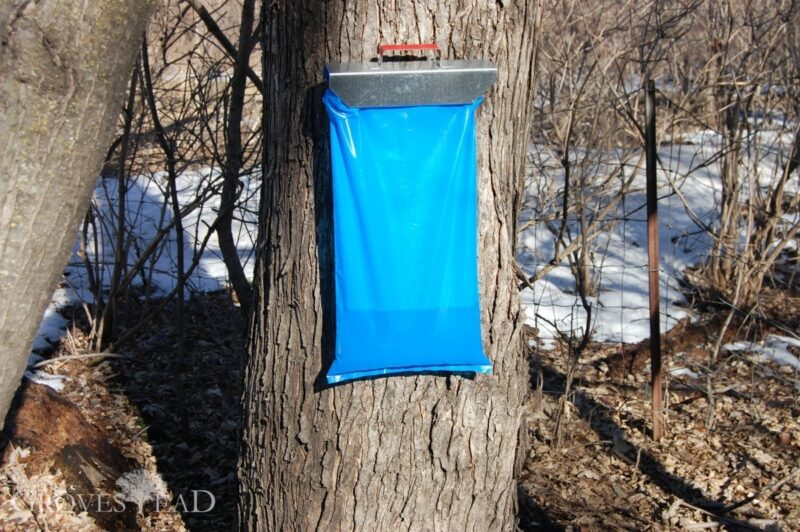 Bag is filling with maple sap
