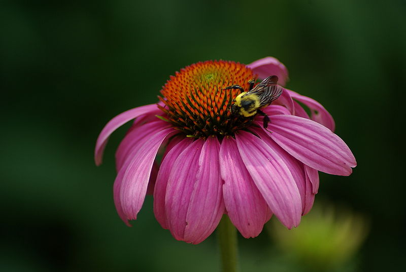 The Bee-Friendly Garden: Purple Coneflower