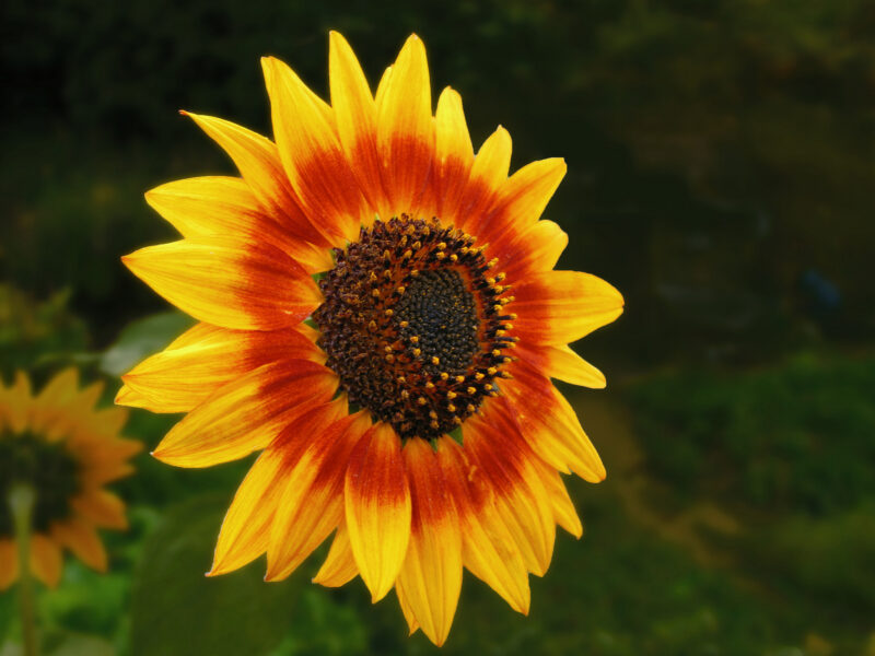 The Bee-Friendly Garden: Sunflower