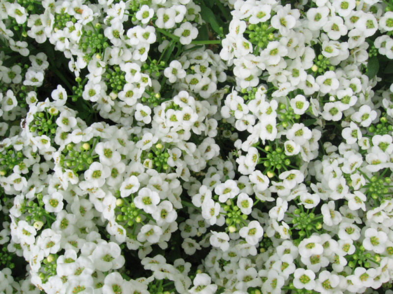 The Bee-Friendly Garden: Sweet Alyssum