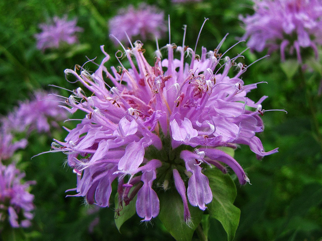 The Bee-Friendly Garden: Wild Bergamot (Beebalm)