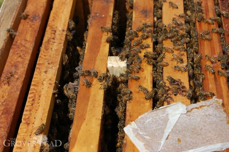 Queen cage inserted into the hive