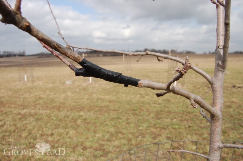Graft of apple tree