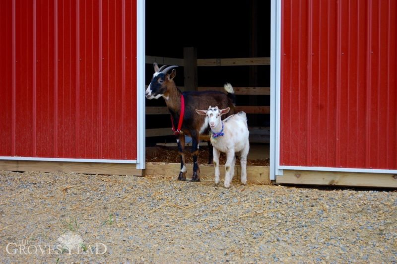 Welcome, goats!