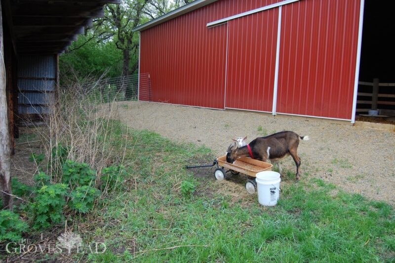 Goats out of the barn and foraging