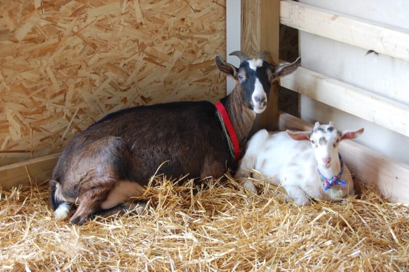 Goats resting in the stall