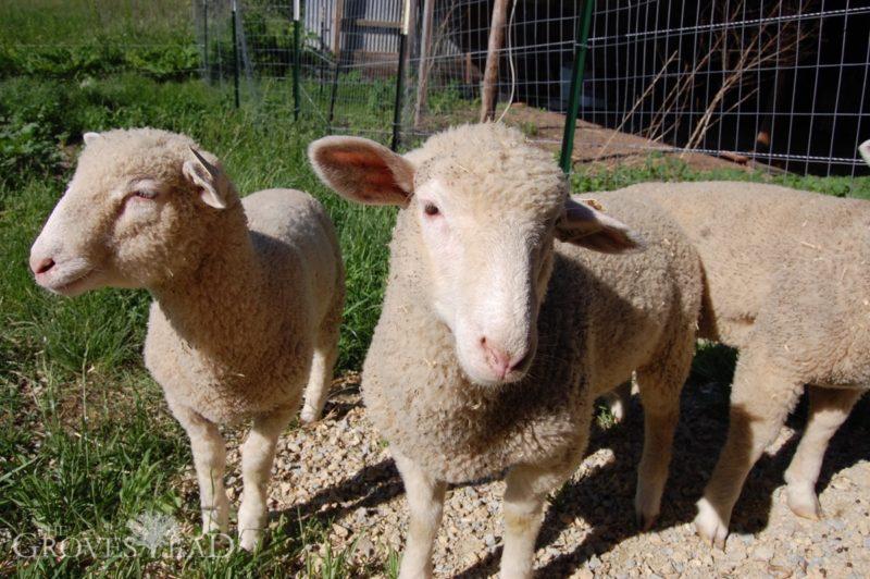 Hello, Lambs!
