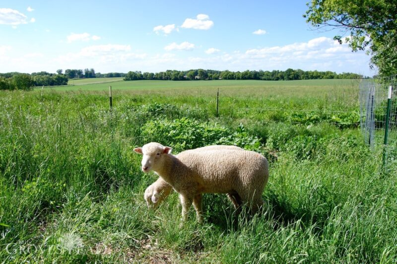 Lambs grazing in the pasture