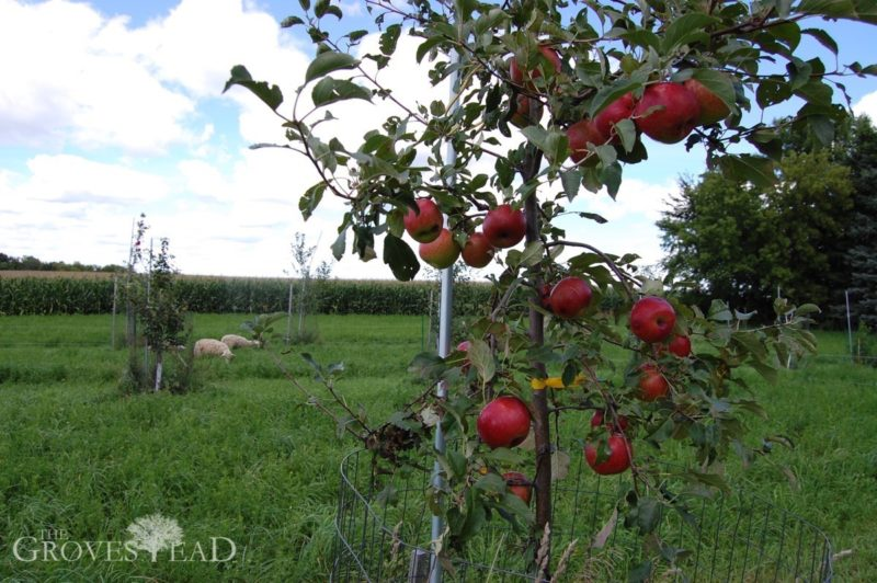 Sheep grazing in the background with apples in the foreground