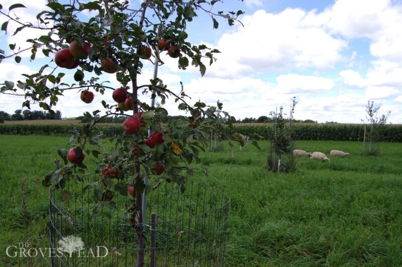 Sheep grazing among the apple trees