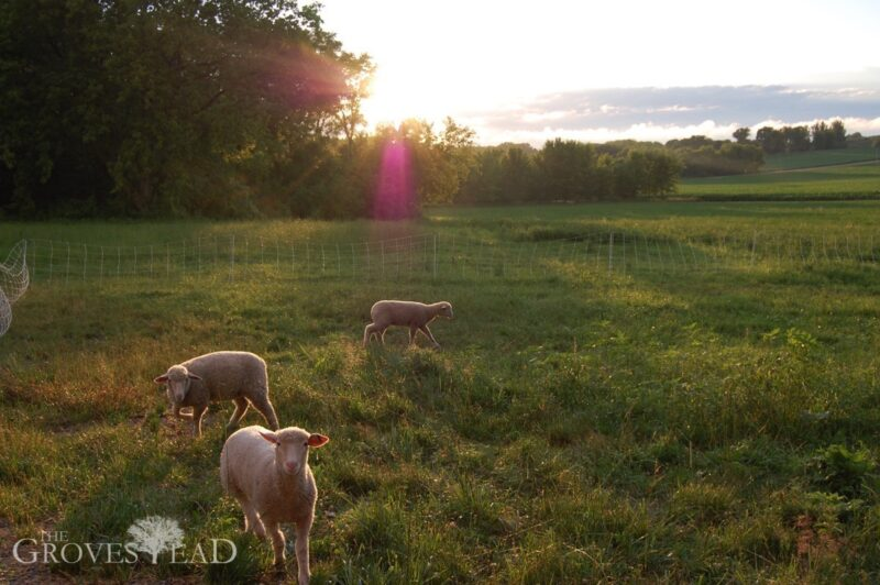 Managed Intensive Rotational Grazing: Sheep enjoying pasture at sunset