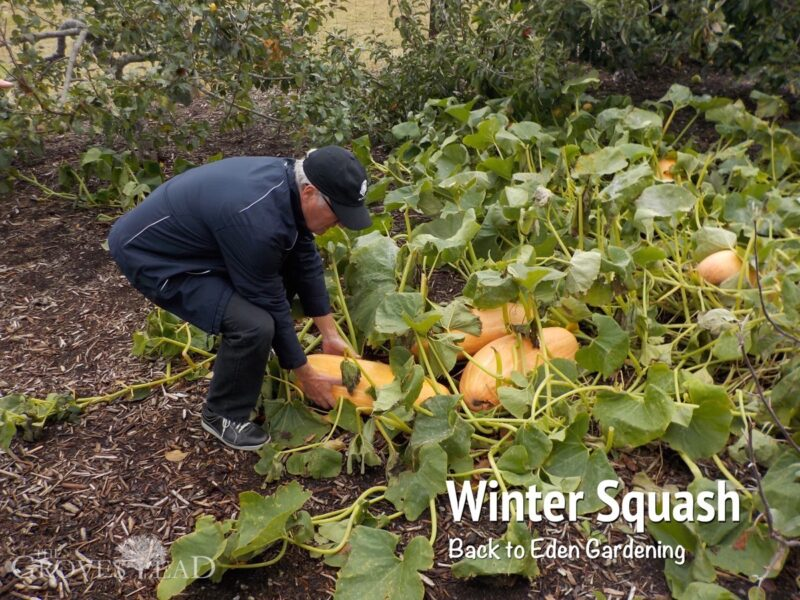 Winter Squash - Back to Eden Gardening