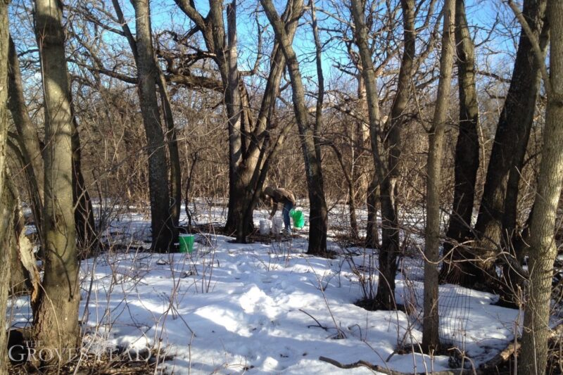 Checking on maple trees and sap collection
