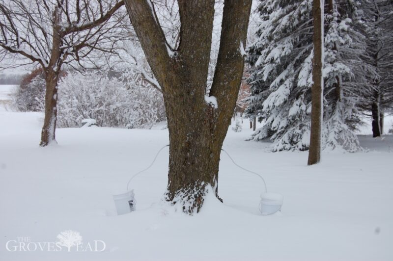 Maple sap collecting in buckets