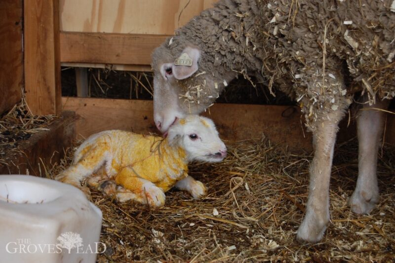 Mama sheep cleaning up her baby lamb