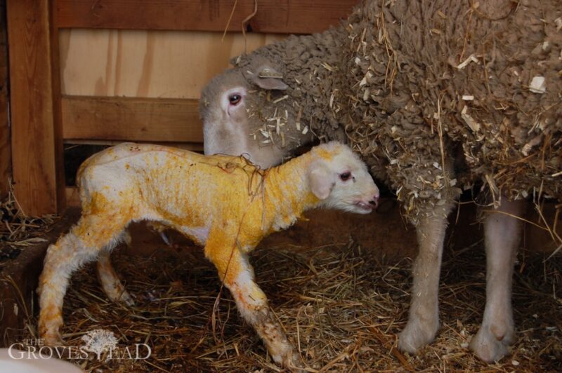 Baby lamb standing for the first time