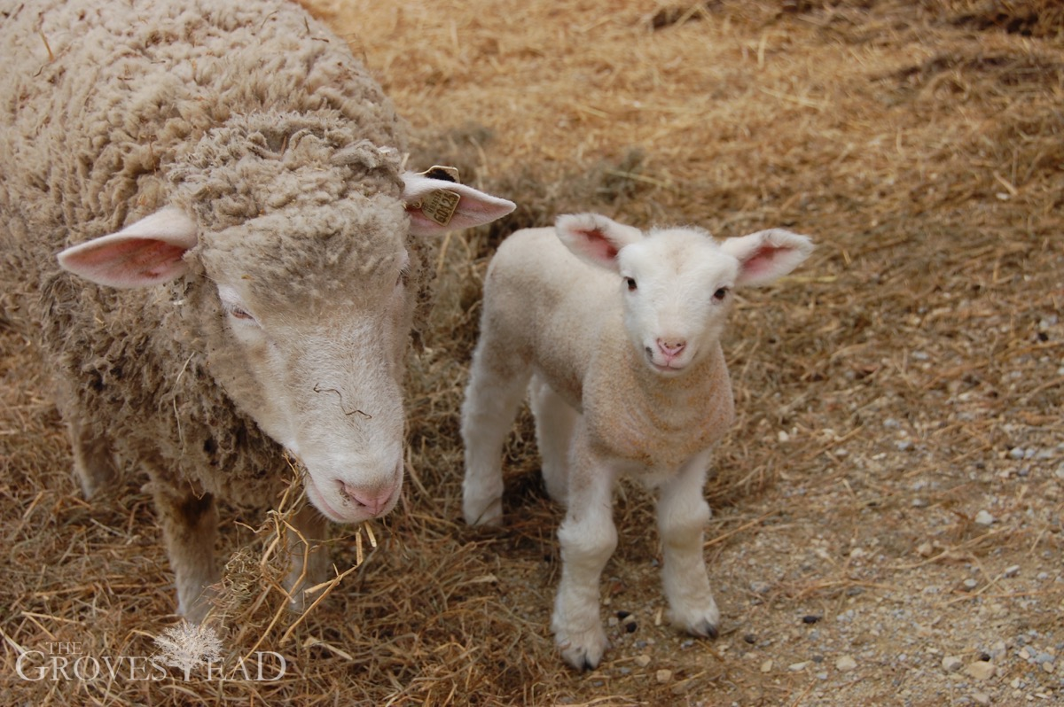 Baby Lamb A Few Days Old Outside With Mom