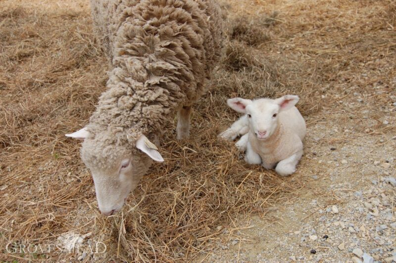 Baby lamb a few days old, relaxing with mom