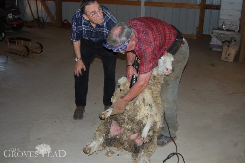 Shearing the sheep with Lloyd and Gary
