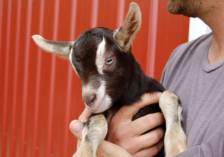 Baby goat up close